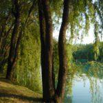 дерево ивы