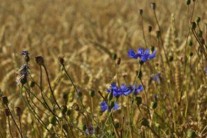 василек в поле