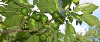 плод инжира