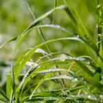 трава осока