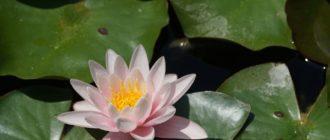 цветок кувшинки