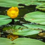 цветок кубышки