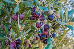 ягоды маслины