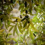 ветка маслины