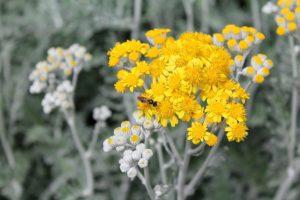 цветок полыни